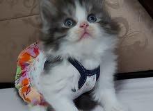 للبيع قطة شيرازيه مون فيس