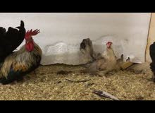 للبيع دجاج جبنيز الزاحف الزوج ع 55 ريال وزوجين ع 100 ريال