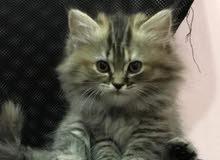قط شيرازي مون فيس شهرين ونصف مطعم مع الدفتر
