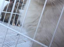 قطه حامل عمرها8شهور