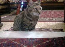 القطة توكى