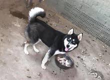 كلب هاسكي 4 شهور