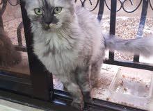 قطة شانشيلا رمادي بجنن انثى عمر 6 اشهر