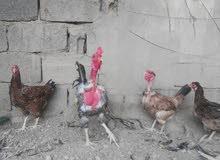 دجاج عرب البيع