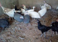بيض دجاج بلدي و فرعوني