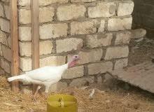 دجاج رومي لبيع