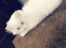 كاندي قطه انثى هيملايا اورنج