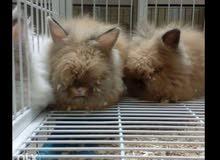 للبيع ارانب هولندي لوب
