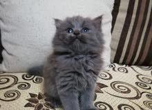 قطه شيرازي اصلي من ام هيمالايا و اب المانى