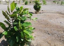 للايجار او للاستثمار ارض زراعية مسورة  في المصنعة الملدة جنوب