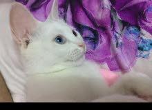 قطه أنثى شيرازيه
