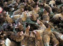 دجاج احمر