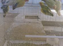 طيور روز. انتاج 6 طروف