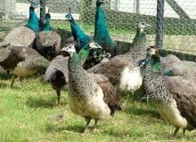 طاووس Paon