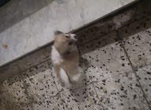 جرو كلب مالتيز فرنسي