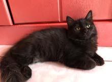 قطة شيراز العمر 3 شهور للبيع