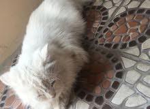 قطه شيرازيه لتزاوج فقط