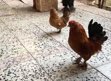 زوج بوم  ديج+دجاجه