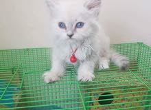 قطط اعمار شهرين اناث وذكور