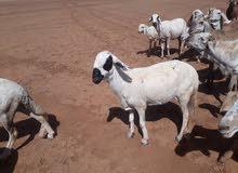 مشاء الله للبيع غنم كحليه الموقع السودان بي امكاننا التوصيل الي الكفره بكل ضمان
