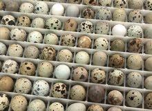 بيض فري مخصب