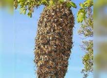 عسل الخزامة الحر