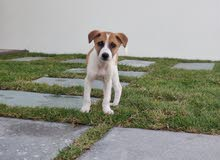 jack russell and beagle cross breed puppy
