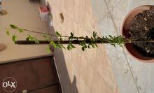 شجرة صبار صغيرة