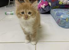 قطط بعمر 50 يوم للبيع مع الام kitten cat