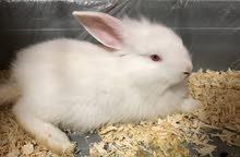 ارنب للبيع /  rabbit for sale