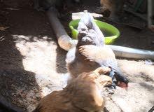 دجاج برهاما