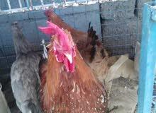 مراوس شنو عندك اراوس وز  بط دجاج  بش  ديوجة  4 واحد برانكلز