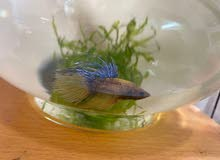 Crowntail Betta fish with small aquarium 5 to 20 aed
