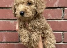 poodle dog for sale from Ukraine male