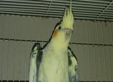 زوج طيور كوكتيل في مرحلة التزاوج نظافة وصحة 100 ٪