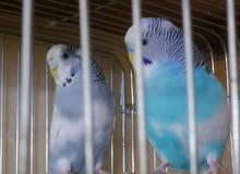 للبيع طيور باجي هولندي