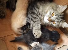 قطة شيرازي واولادها الاثنين