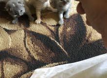 ثلاث قطط صغار عدد 2 انثى / 1 ذكر  - العمر شهر ونصف