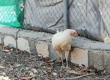 دجاج باكستان للبيع