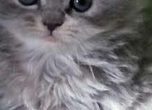 قطط شيرازي بيور عمر 50يوم