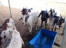 اغنام اثيوبية كبيره للبيع في نزوى