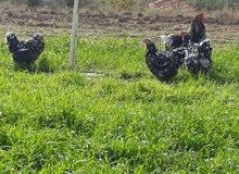 بيض دجاج براهما اكثر من نوع للبيع