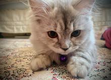 Beautiful Persian Himilayan cat