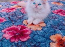 مطلوب قطة هملايا