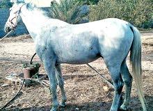 حصاان للبيع (بشيك) طايب سرز او سيله امشبه نص دم  من غير اورق
