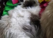 قطة هيمالايا شوكلت