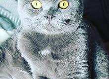 مطلوب قطة انتاي  سكوتش فولد للتزاوج