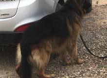 كلب نوع جيرمن عمره سنة وخمس اشهر مدرب لحماية الشخصيات وطاعة الاوامر