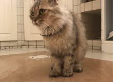 قطة شيرازي للبيع ب350
