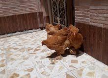 دجاج براهمان